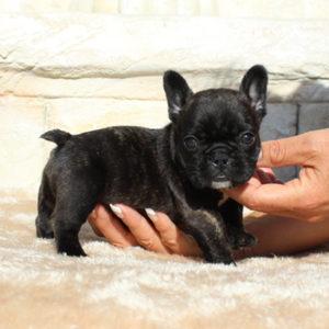子犬販売で新しいパイド・フォーン・ブリンドル兄妹の写真を紹介!