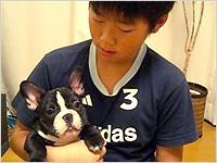 フレンチブルドッグブリンドル子犬