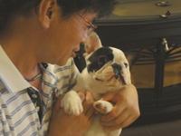 フレンチブルドッグパイド子犬