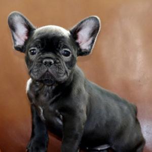 子犬販売で新しいブリンドル姉妹の写真を紹介!