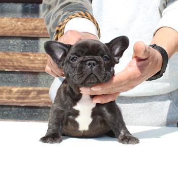子犬販売で新しいブリンドル兄妹の写真を紹介!