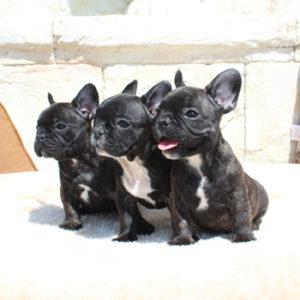 子犬販売で新しいブリンドル・タイガーブリンドル3兄弟の写真を紹介!