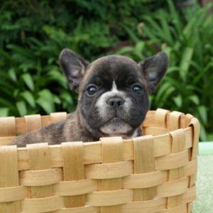 子犬販売で新しいブリンドル・タイガーブリンドル兄弟の写真を紹介!