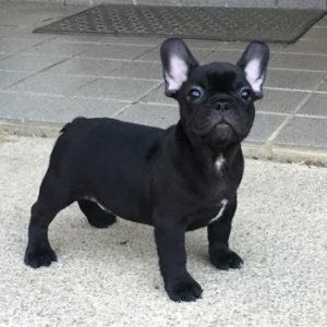 子犬販売でブラックブリンドル男の子の写真を更新!
