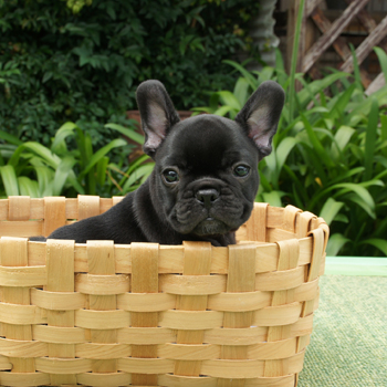 子犬販売で新しいブラックブリンドル男の子の写真を紹介!