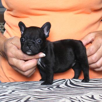 子犬販売で新しいブラックブリンドル姉妹の写真を紹介!