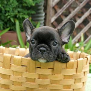 子犬販売で新しいブリンドル女の子の写真を紹介!