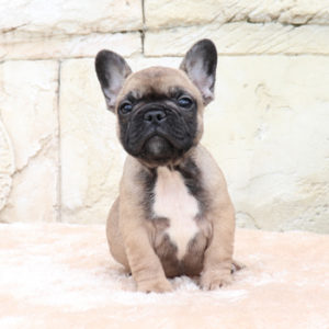 子犬販売で新しいフォーン・ブリンドル兄弟の写真を紹介!
