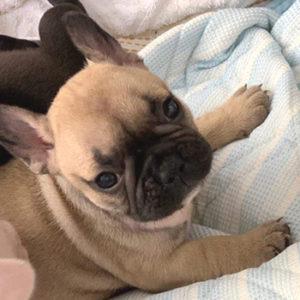 子犬販売で新しいフォーン兄妹の写真を紹介!