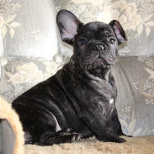 子犬販売で新しいクリーム・ブリンドル兄妹の写真を紹介!