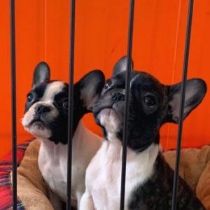 子犬販売で新しいパイド3兄妹の写真を紹介!