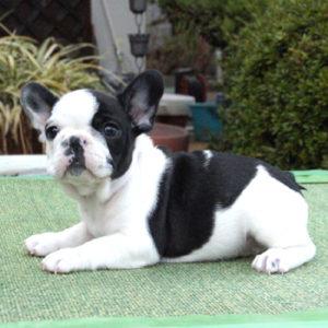 子犬販売で新しいフォーン・パイド・ブリンドル兄妹の写真を紹介!