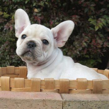 子犬販売で新しいクリーム女の子の写真を更新!