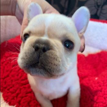 子犬販売で新しいクリーム兄弟の写真を紹介!