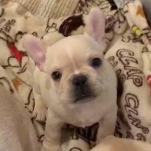 子犬販売でクリーム男の子の写真を更新!
