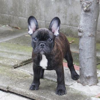 子犬販売でブリンドル男の子の写真を更新!