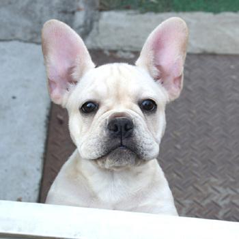 若犬販売でクリーム女の子の値段を更新!