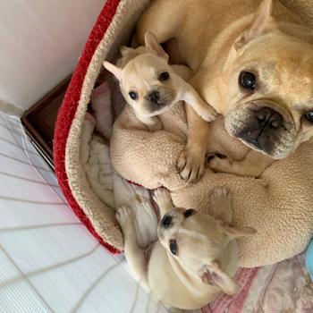 子犬販売で新しいクリーム姉妹の写真を紹介!