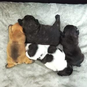 子犬販売で新しいレッドフォーン・ブリンドル・パイドの出産情報を紹介!