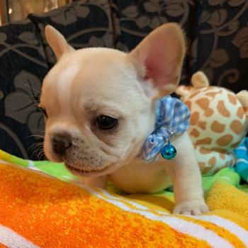 子犬販売で新しいクリーム男の子の写真を紹介!