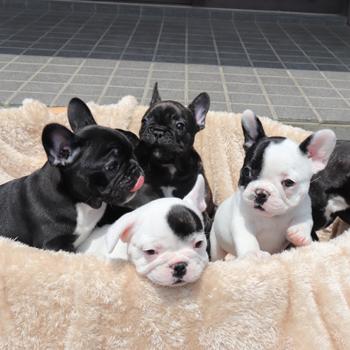 子犬販売で新しいパイド・ブリンドル兄妹の写真を紹介!