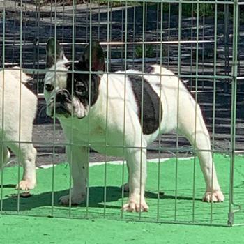 若犬販売で新しいパイド女の子の写真を紹介!