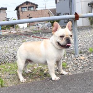 若犬販売で新しいクリーム男の子の写真を紹介!