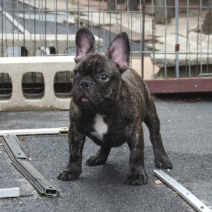 若犬販売でタイガーブリンドル男の子の値段を更新!