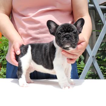 子犬販売でパイド・ブリンドル兄妹の値段を更新!