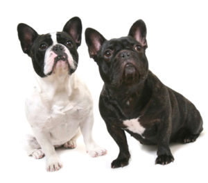 フレンチブルドッグの子犬探しのコツ①|子犬のサイズについて