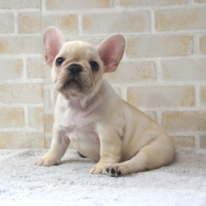 若犬販売で新しいクリーム女の子の写真を紹介!