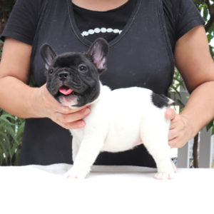 子犬販売で新しいパイド男の子の写真を紹介!