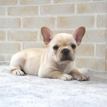 子犬販売で新しいクリーム女の子の写真を紹介!