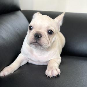 子犬販売で新しいクリーム兄妹の写真を紹介!