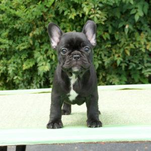 子犬販売で新しいブリンドル姉妹の値段を更新!!