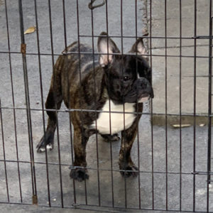 若犬販売で新しいタイガーブリンドル男の子の写真を紹介!
