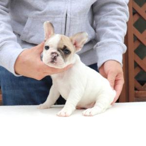 子犬販売で新しいフォーン・フォーンパイド・ブリンドル兄妹の写真を紹介!