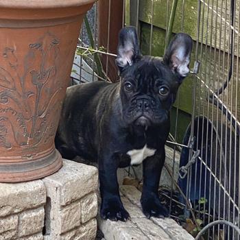 若犬販売でブリンドル男の子の写真を紹介!