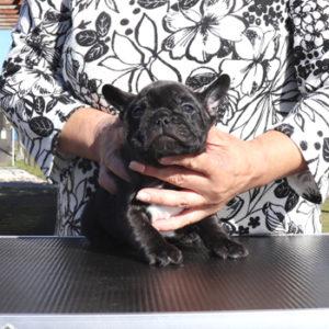 子犬販売で新しいブリンドル兄弟の写真を紹介!