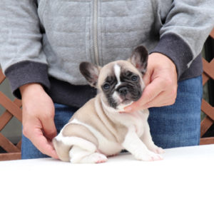 子犬販売でフォーンパイド女の子の値段を更新!
