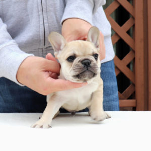 子犬販売でフォーン兄妹の値段を更新!