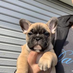 子犬販売で新しいレッドフォーン男の子の写真を紹介!