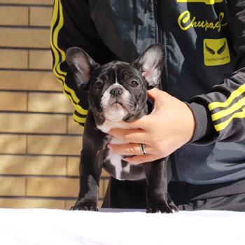 子犬販売で新しいブリンドル・パイド・クリーム兄妹の写真を紹介!