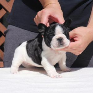 子犬販売で新しいパイド女の子の写真を紹介!