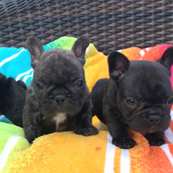 子犬販売で新しいブリンドル兄弟の写真を更新!