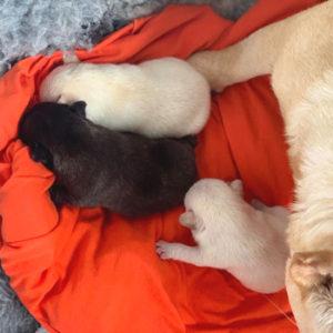 子犬販売でクリーム・ブレーズブリンドル兄妹の出産情報を紹介!