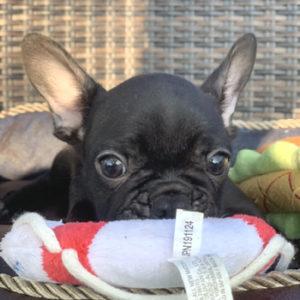 子犬販売でブリンドル兄弟の写真を更新!