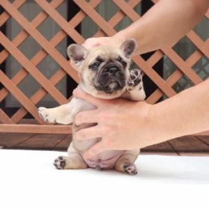 子犬販売で新しいフォーン男の子の値段を更新!