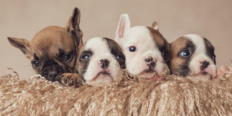 フレンチブルドッグの子犬探しで間違いやすい7つのポイント