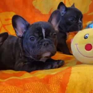 子犬販売でブレーズブリンドル女の子の写真を更新!